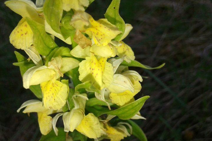 Orchidée sur le puy de Chomontel