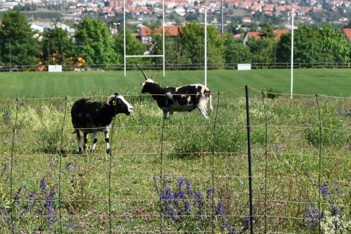 L'ecopâturage permet l'entretien des talus autour du stade par des moutons