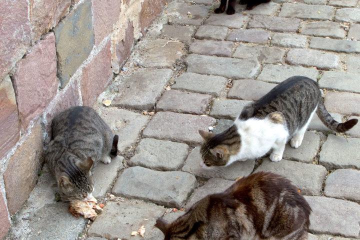 Campagne de stérilisation des chats libres